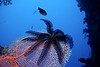 Crinoid on sea fan.