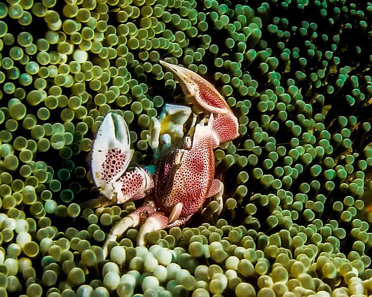 3654porcelain crab
