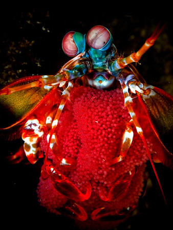 Female Peacock Mantis Shrimp with Egg Clutch (Odontodactylus scyllarus) Location: Anilao, Philippines