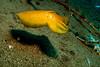 2785 juvenile cuttlefish