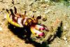 3062 flamboyant cuttlefish