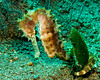 3103 spiney seahorse