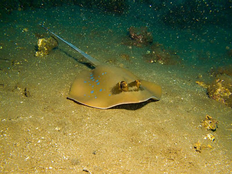 3349 bluespotted ray