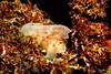 3163 leaf scorpionfish