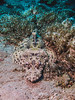 3506 flat headed crocodile fish