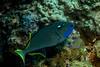 2876 triggerfish