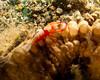3454 emperor shrimp