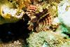 3121 zebra lionfish