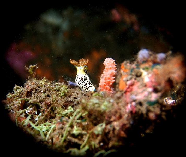 I believe this little guy to be a Nembrotha lineolata.