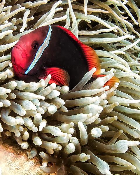 2855 tomato clown in anemone