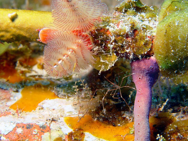 072005_DSC101108 / Christmas tree worms and a tiny arrow crab, Cayman Brac, BWI