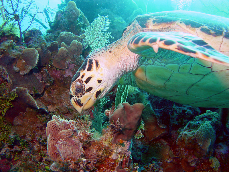 071505_DSC101040 / Hawksbill sea turtle eating coral, Little Cayman, BWI