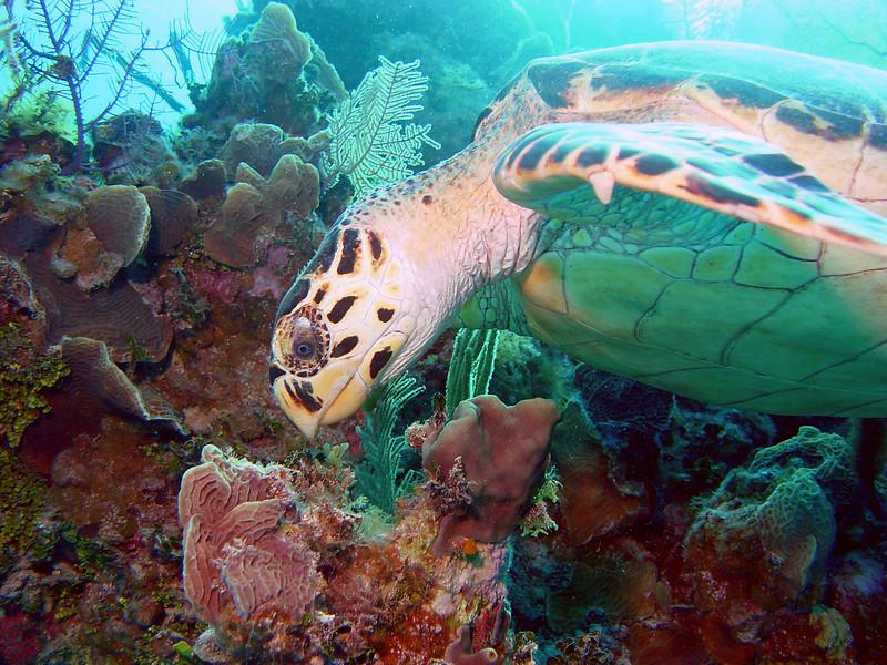 071505_DSC101040 / Hawksbill sea turtle eating coral, Little Cayman, BWI