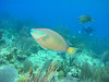 072105_DSC101140 / Stoplight parrotfish portrait and diver, Little Cayman, BWI
