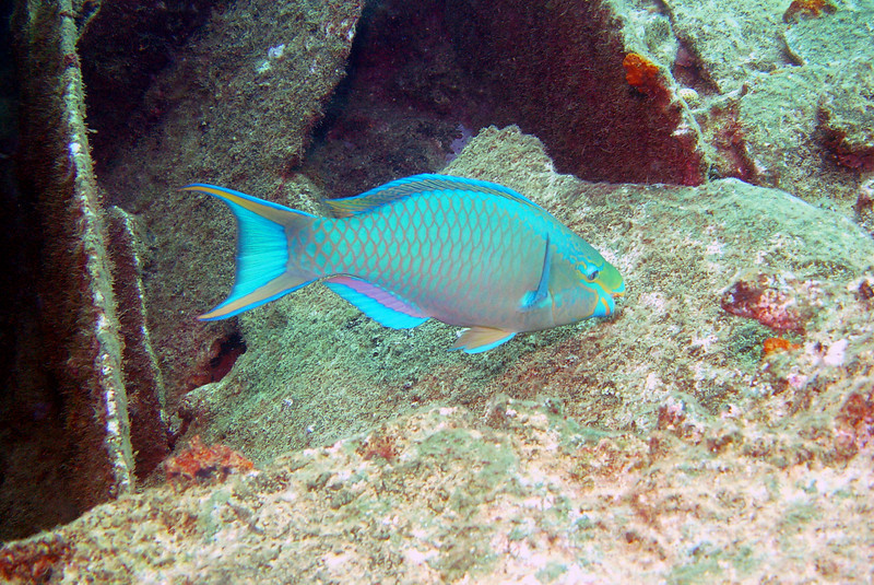 062206_DSC151616 / A parrotfish eating coral on the Cristobal Colon shipwreck, Bermuda