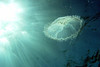 A large Moon Jelly photographed from below, North Rock, Bermuda