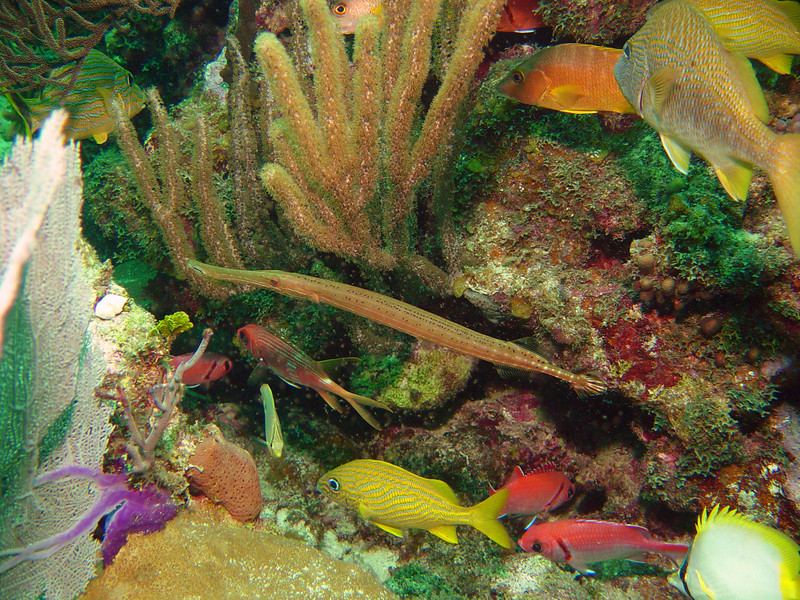 072105_DSC101148 / Trumpet fish, yellow grunt and other reef fish, Little Cayman, BWI
