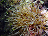 071905_DSC101053 / Sea Anemone photographed during a night dive, Little Cayman, BWI