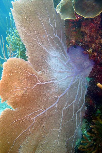 062206_DSC151621 / A large sea fan coral, North Rock reef, Bermuda