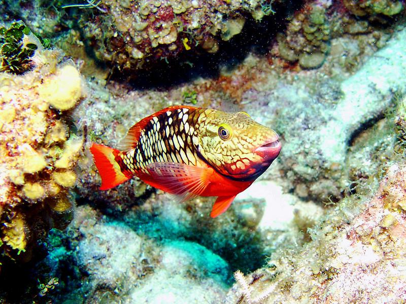 071805_DSC101001 / Parrot fish portrait, Grand Cayman, BWI