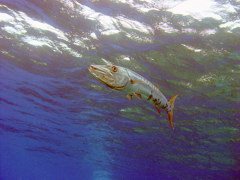 072005_DSC101103 / Great barracuda at the surface, Little Cayman, BWI