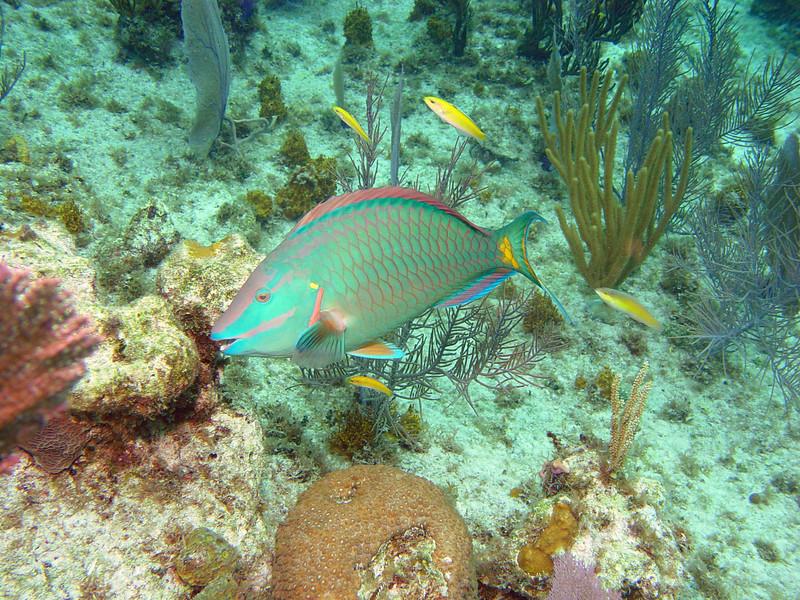 072105_DSC101139 / Stoplight parrotfish (terminal phase) portrait, Little Cayman, BWI