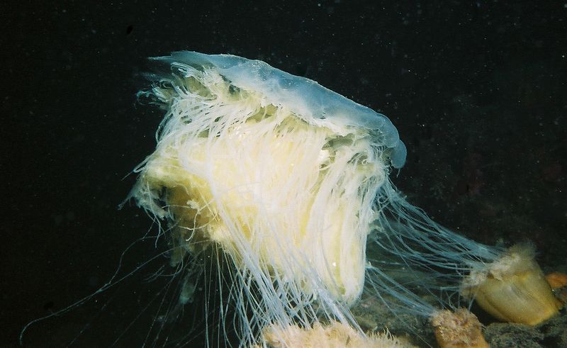 Lion's mane jellyfish (Cyanea capilata) about to be eaten by Plumrose anenomes