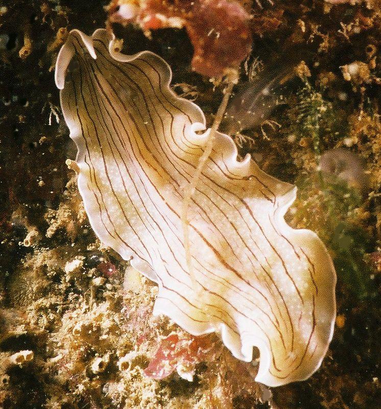 Flatworm (Prosthecereus vittatus)