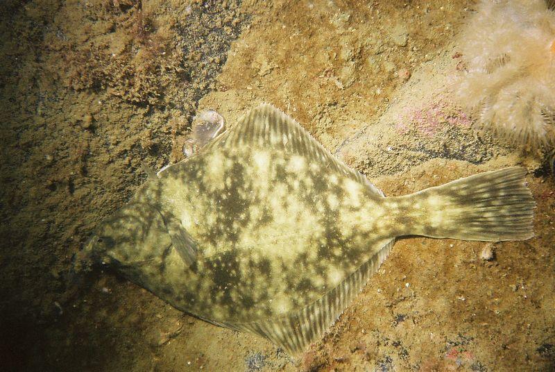 Flounder (Platichthys flesus)