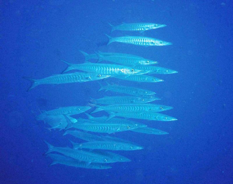 12 Barracudas