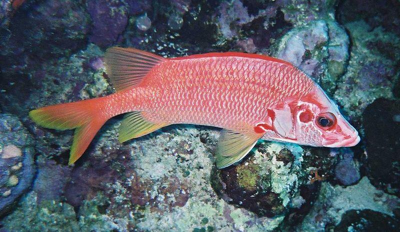 21 Long-jaw squirrelfish