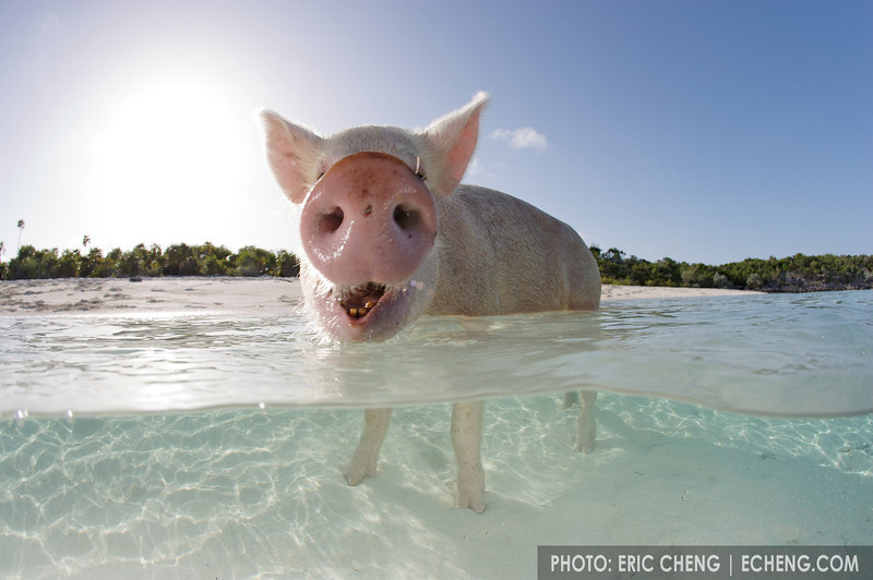 Domestic pig (Sus scrofa domestica) swimming in the Bahamas