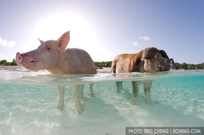 Domestic pig (Sus scrofa domestica) swimming in the Bahamas