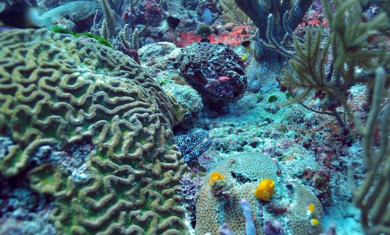 Black-Spotted Moray Eel - Playa del Carmen - November 2012