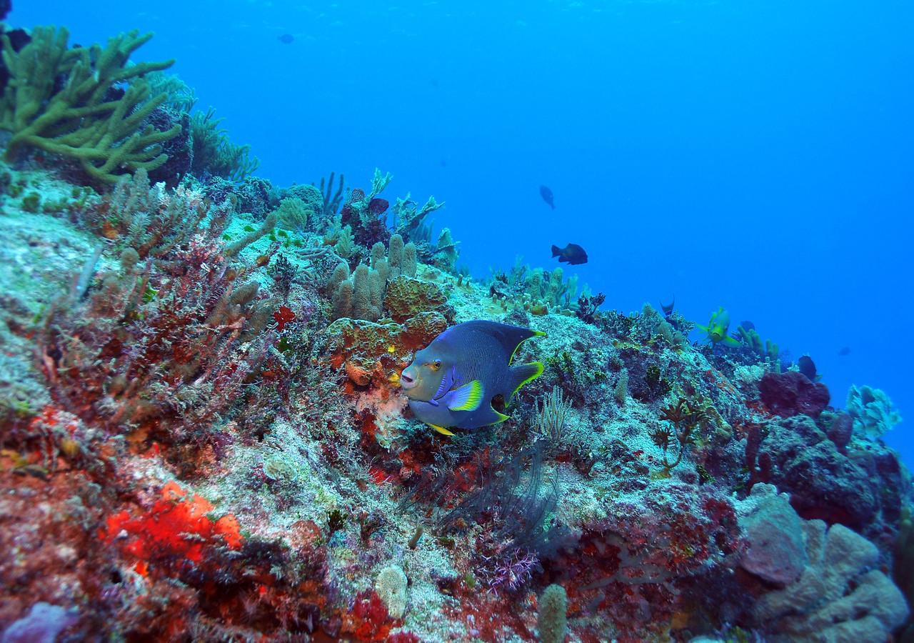 Blue Angelfish - Playa del Carmen - November 2012