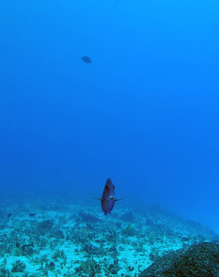 Curious Blue Tang, Playa del Carmen - November 2012