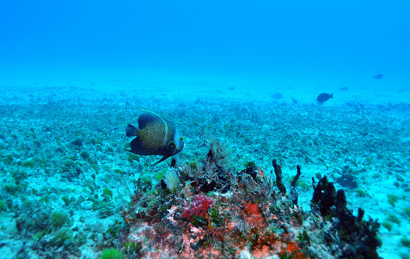French Angelfish - Playa del Carmen - November 2012