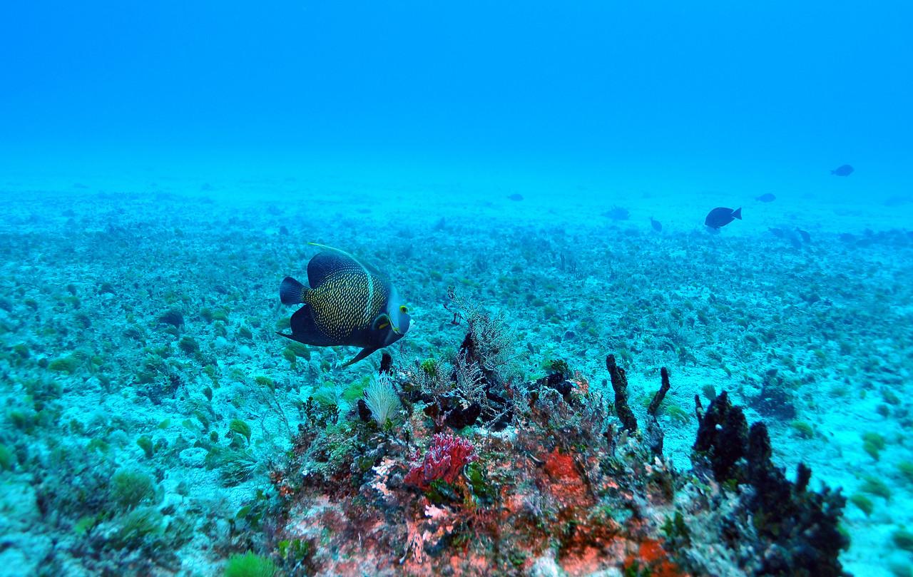 French Angelfish - Playa del Carmen - November 2012