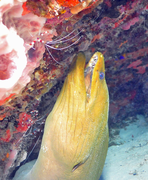 Green Moray Eel - Playa del Carmen - November 2012