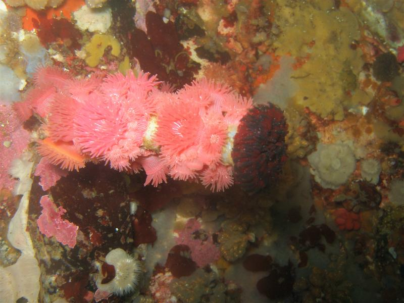 Brooding anemones, covering a feather dusting casing