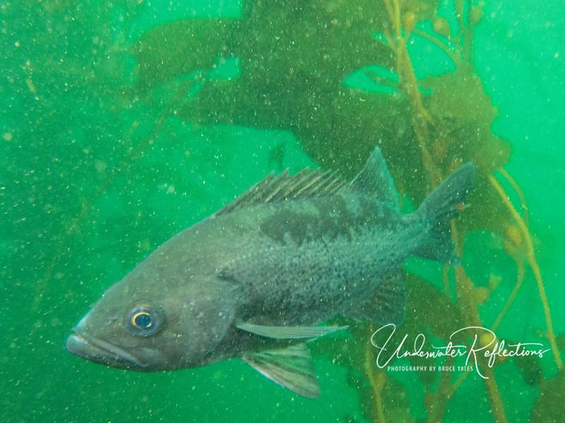 Same rockfish side profile