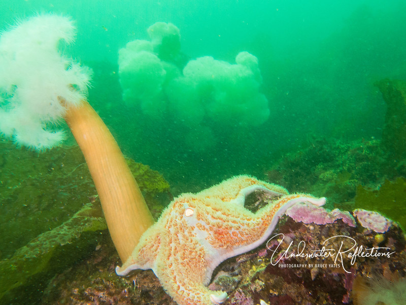 Sea star and giant plumous anemones