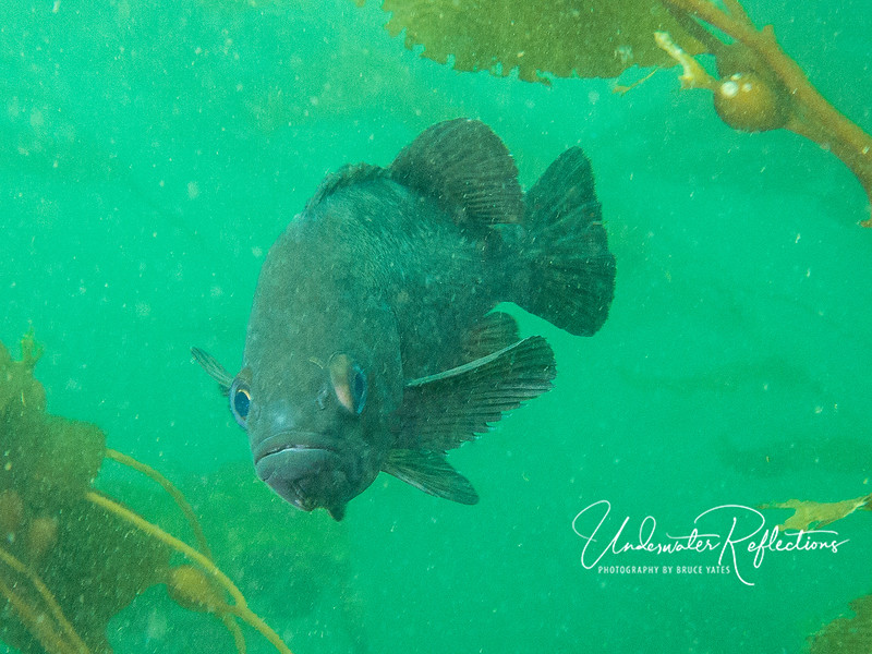 """You lookin' at ME?!  Rockfish in murky water.  Visibility was generally quite good (for cold water) - 30-50 ft - but when the water was turbid like this, it was hard for my strobes not to show lots of """"backscatter"""" (small particles illuminated so they look like white specs)."""