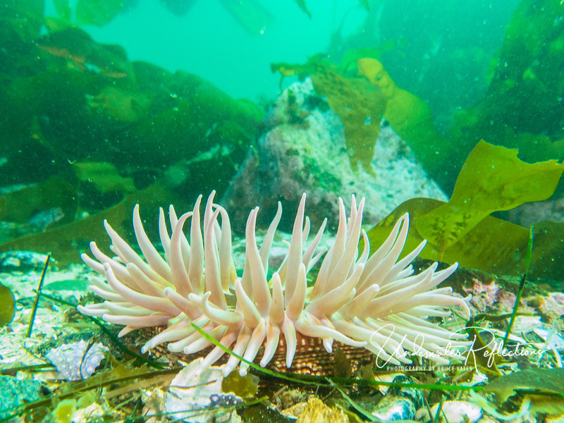 A fish-eating anemone among kelp