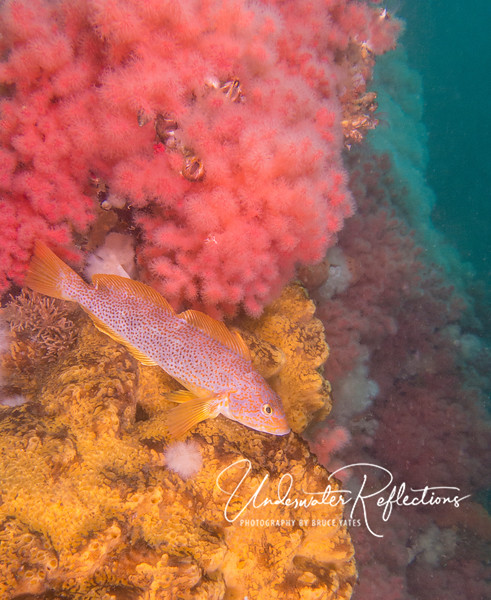 A small section of Browning Wall, covered with reddish soft coral, yellow sponges, and (as seen behind) white plumous anemones