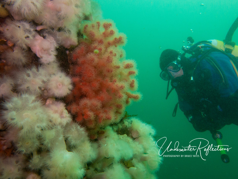 If it weren't for the diver's attire (a heavy drysuit to protect against water temps in the 40's), you might think this was a tropical reef in SE Asia - certainly the most plush reefs I've ever seen in cold water!