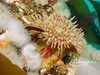 A colorful anemone growing among white plumous anemones.  Note the color of this anemone's underside...