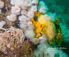 Another Lemon Peel nudibranch, and (at left) an egg ribbon, which contains thousands of nudibranch eggs.