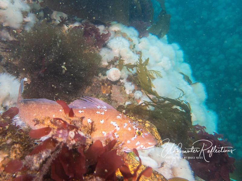 A kelp greenling