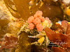 A decorator crab with half a dozen small tunicates planted on its back for camouflage